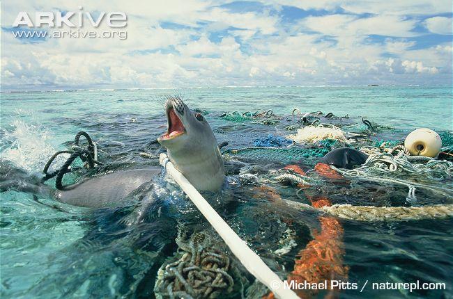 Hawaiian-monk-seal-caught-in-fishing-tackle