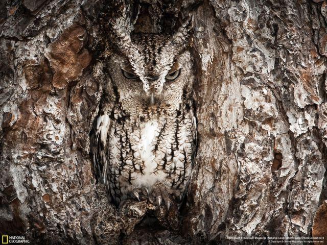 chameleon owl