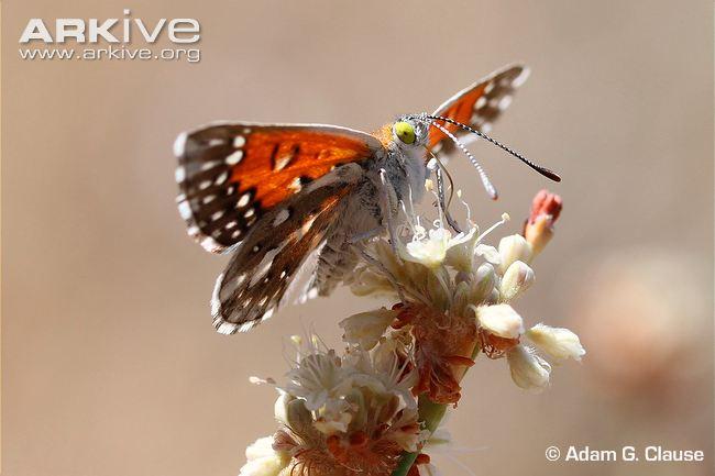 male-langes-metalmark-butterfly-feeding