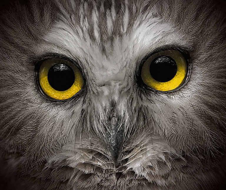 Owl 001