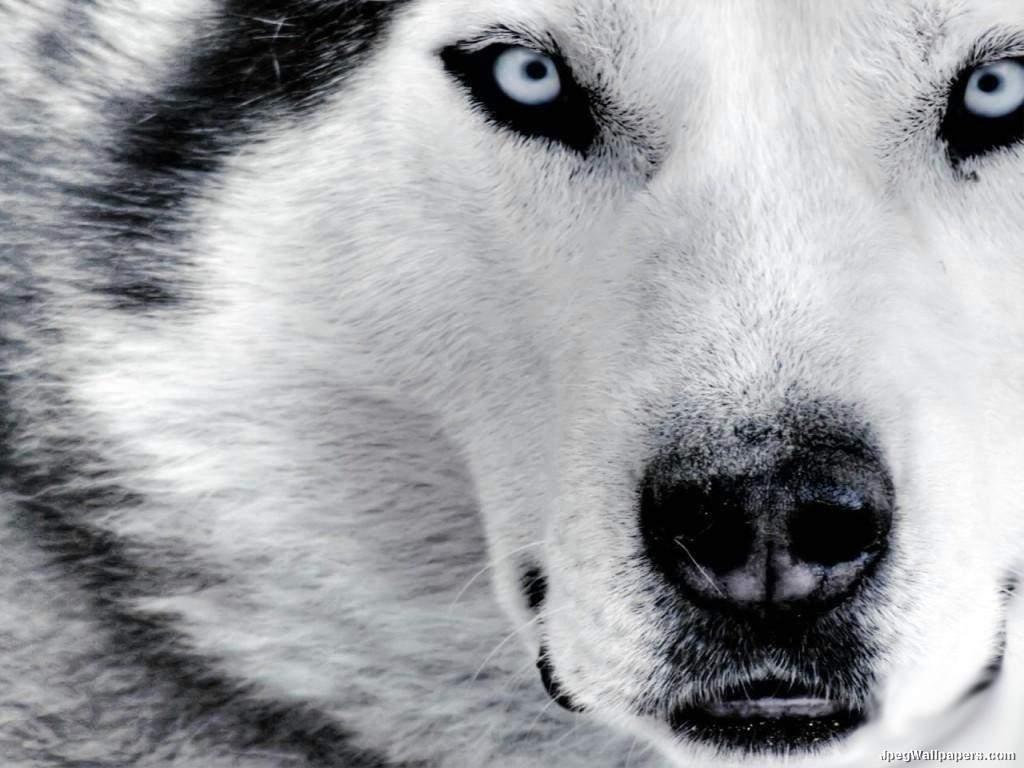 Siberian-Husky-Wallpaper-1-